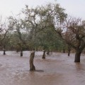 allagamenti ulivi 1