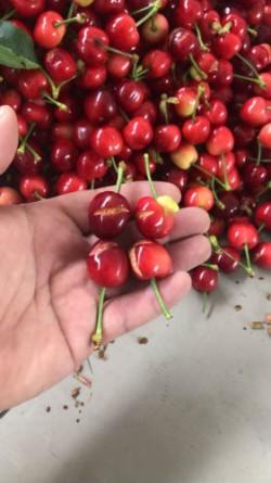 ciliegie spaccate dalla pioggia