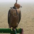 falconeria0