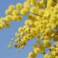 mimosa womenday s fiori 2483409