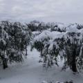 ulivi appesantiti dalla neve 1